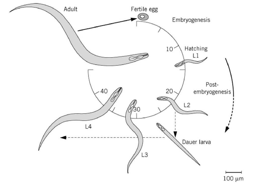 Interesting Properties Of C Elegans C Elegans Neuroscience