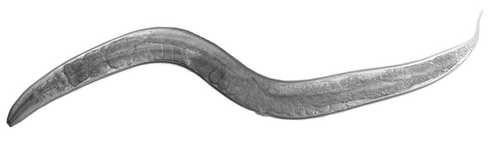 C. elegans Neuroscience